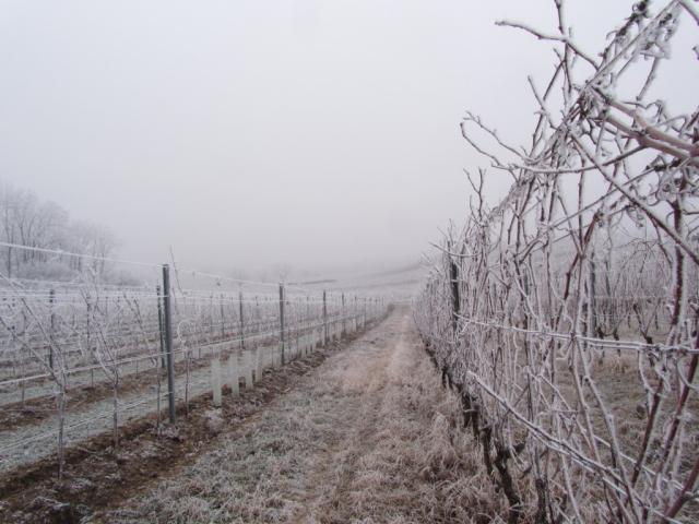 Winter Weingarten Gabarinza Luckenwald