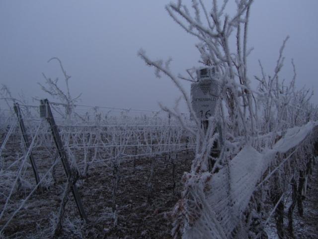 Syrah Eiswein Weingarten Winter